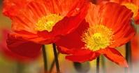 真っ赤に咲き乱れるひなげしの花